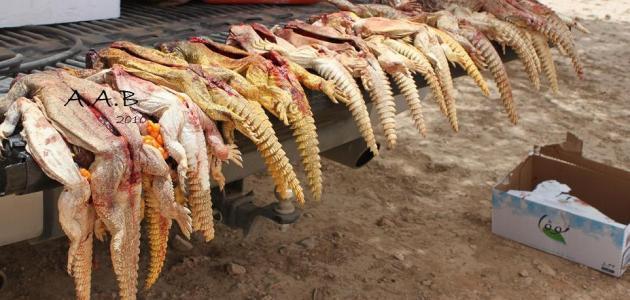 صورة طرق صيد الضب